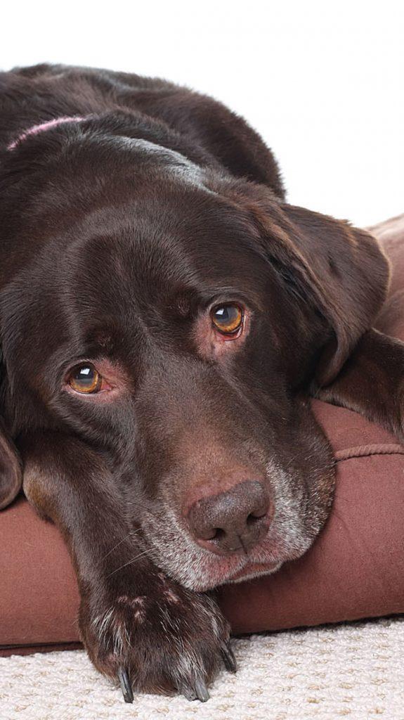 chien symptômes chocolat