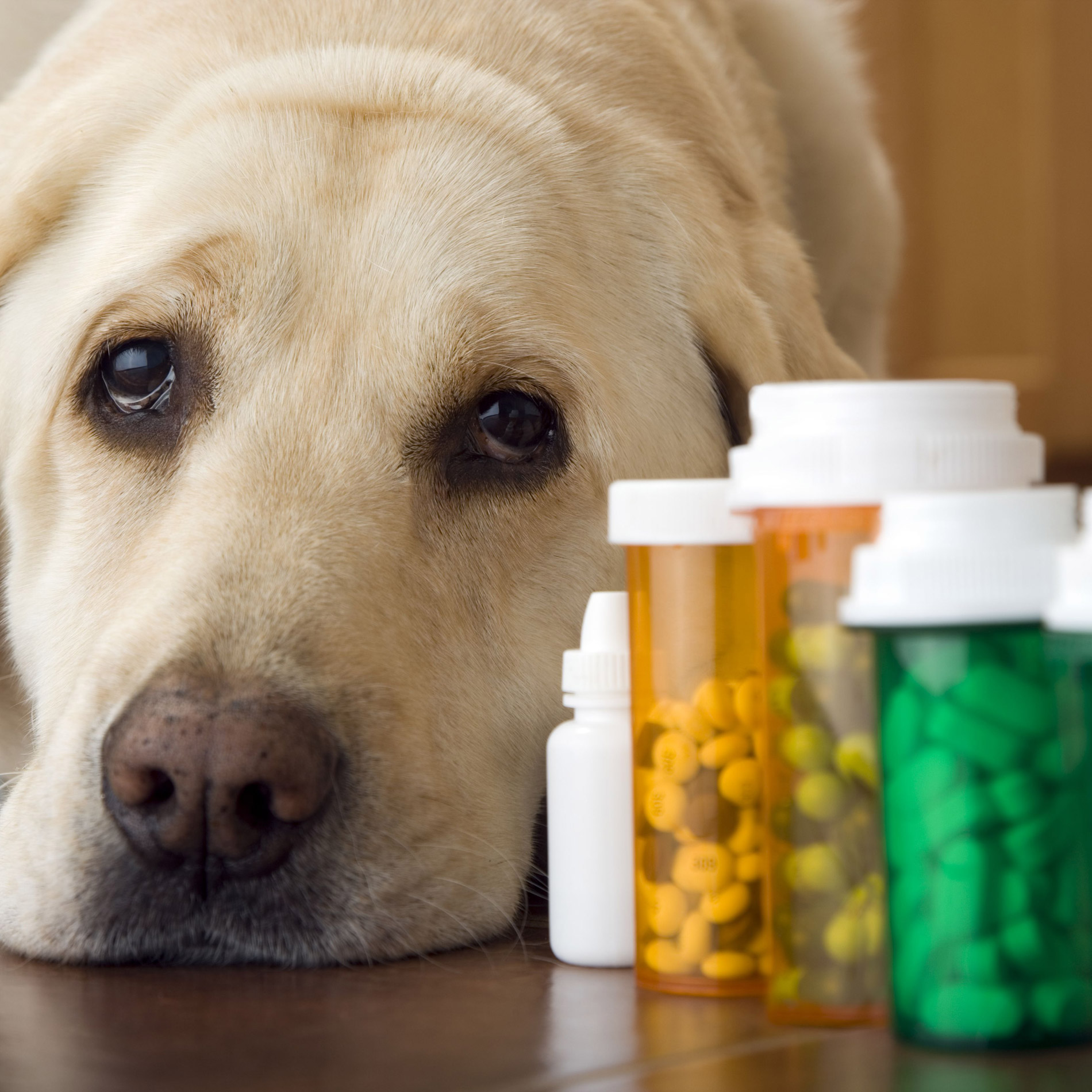 Chien Intoxication Medicaments